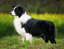 Example of a Border Collie.