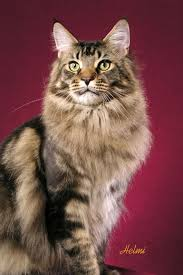 Example of a Maine Coon.