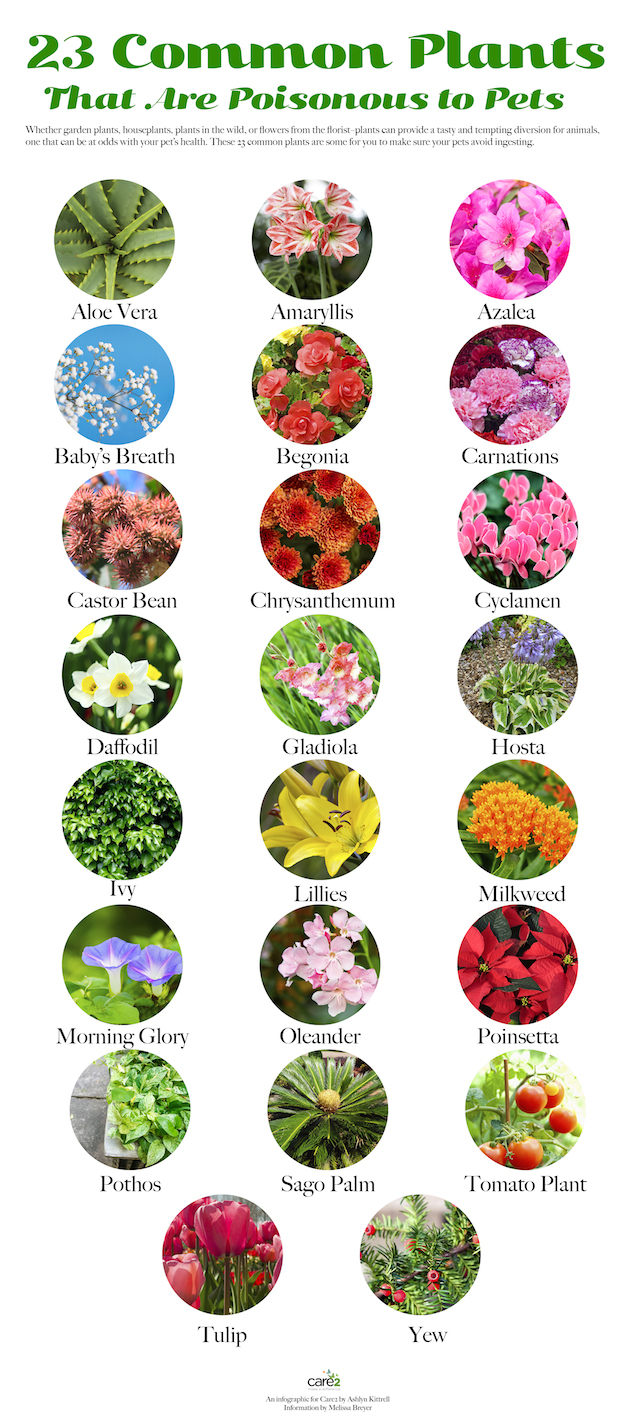 http://www.care2.com/greenliving/24-common-plants-poisonous-to-pets.html